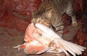 feral_cat_major_mitchell_cockatoo