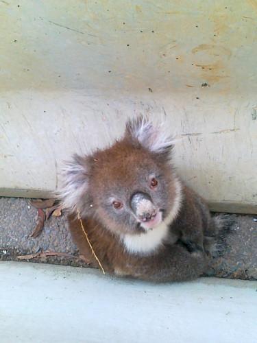 koala-sthn-xpressway-B