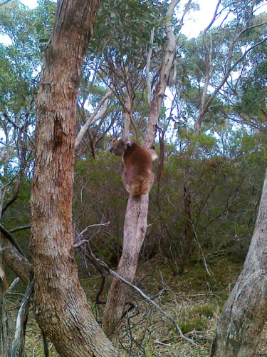 koala-sthn-xpressway-G