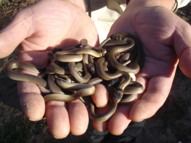 Baby-Brown-snake-video-003