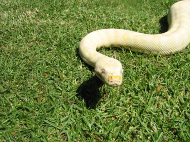 albino-python-008