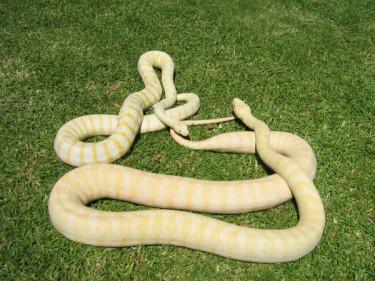 albino-python-015